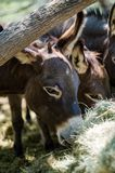 Sicilian Donkeys Eating Hay Barnyard. Sicilian Donkeys in Barnyard eating from some bales of hay under a mesquite tree. These donkeys have the shadow of the royalty free stock photos