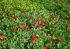 Sicilian flowers. The red flowers near Palermo, Sicilia, Italy Stock Photos