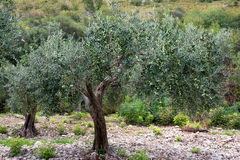 Sicilian green ripe olives on old olive tree, Sicily Royalty Free Stock Image
