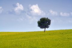 The sicilian landscape. An isolated tree in the country royalty free stock image