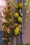 Sicilian Lemons hanging in the market Stock Photography