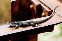 Sicilian lizard Stock Photo
