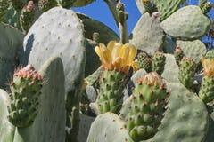 Sicilian Mediterranean Sea Cactus Stock Photography