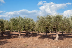 Sicilian olive trees Stock Photos