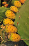 Sicilian prickly pear Stock Image