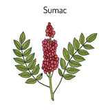Sicilian sumac Rhus glabra branch with leaves and berries. Hand drawn botanical vector illustration Royalty Free Stock Photo