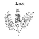 Sicilian sumac Rhus glabra branch with leaves and berries. Hand drawn botanical vector illustration Stock Image