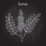 Sicilian sumac Rhus glabra branch with leaves and berries. Hand drawn botanical vector illustration Stock Photography