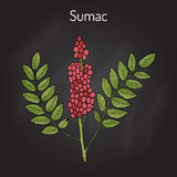 Sicilian sumac Rhus glabra branch with leaves and berries. Hand drawn botanical vector illustration Royalty Free Stock Image