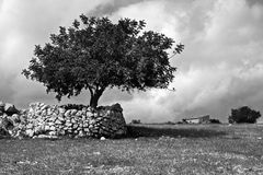 The Sicilian tree. Tree in the Sicilian hinterland royalty free stock photography