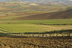 Sicilian valley. Valley cultivated with tree-lined avenue of olive sicilia italy stock images