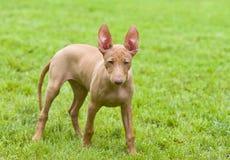 sicilian valp för cirnecodelletna hund Arkivbild