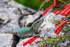 Sicilian Wall Lizard Stock Image