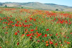 Sicily landscape - red poppy flowers in the fiels. Sicily landscape red poppy flowers in the fiels Stock Images