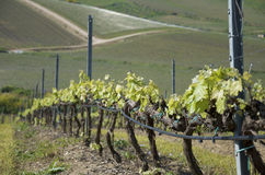 sicily vingårdar Royaltyfri Bild