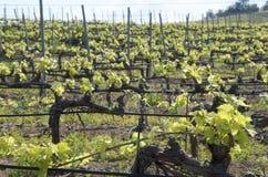 sicily vingårdar Royaltyfria Bilder