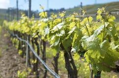 sicily vingårdar Arkivfoton