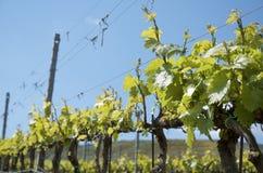 sicily vingårdar Royaltyfri Fotografi