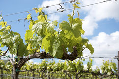 sicily vingårdar Arkivbilder