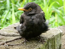 Sick Blackbird. Picture of a sick male blackbird stock photo