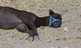 Sick Calf. A calf laying sick on the ground Royalty Free Stock Photos