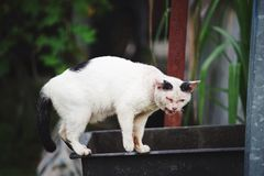 The Sick Cat. The cat is having ringworm on the his face standing on the useless water tank at the outdoor Royalty Free Stock Images