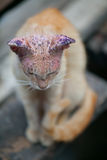 Sick cat with skin disease. Close up Royalty Free Stock Image