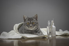 Sick cat on a table with medicines. A sick cat on a table with medicines Royalty Free Stock Image