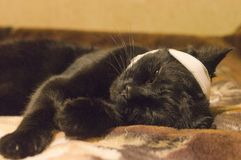 Sick cat tied with a bandage royalty free stock image