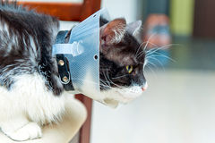 Sick cat wearing funnel Stock Photo