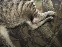 Sick cat with a wound. Royalty Free Stock Photos