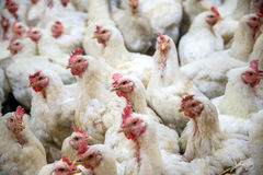Sick chicken or Sad chicken in farm,Epidemic, bird flu. Stock Photos