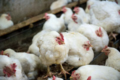 Sick chicken or Sad chicken in farm,Epidemic, bird flu. Stock Photo