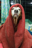 Sick covered dog. Funny dog covered with a dirty blanket and looking very silly and proud royalty free stock images