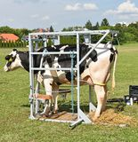 Sick cow waiting for cure in a metal box. In summer stock photo