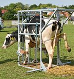 Sick cow waiting for cure in a metal box Stock Photo