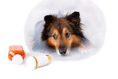 Sick dog. Sick Sheltie or Shetland sheepdog with dog cone collar and medine bottles in the foreground Stock Image