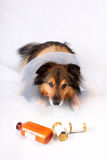Sick dog. Sick Sheltie or Shetland sheepdog with dog cone collar and medicine bottles in the foreground (NOT ISOLATED Royalty Free Stock Photo