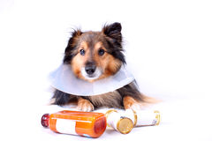 Sick dog. Sick Sheltie or Shetland sheepdog with dog cone collar and medicine bottles in the foreground (NOT ISOLATED Stock Photo