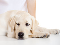 Sick Dog. Close-up portrait of a labrador dog a with a sick face Royalty Free Stock Photos