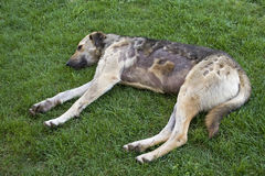 Sick Dog. A sick dog is trying to have rest on the grass Royalty Free Stock Image