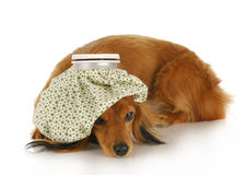 Sick dog Royalty Free Stock Photography