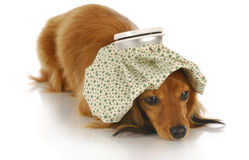 Sick dog Royalty Free Stock Images