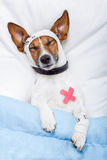 Sick dog. With bandages lying on bed and sleeping Stock Photography