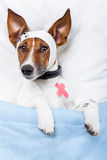 Sick dog. With bandages lying on bed Stock Photos