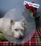 Sick Dog. A sick dog in a cone to keep him from licking his injuries Royalty Free Stock Image