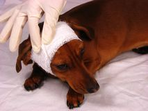 The sick dog Stock Images