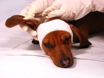 The sick dog Stock Photo