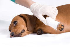 The sick dog in bandage Stock Image