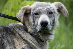 Sick dog demodex. In grass Stock Photos